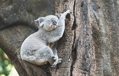 澳洲龙柏考拉动物园,树上睡觉的考拉.图/东方ic
